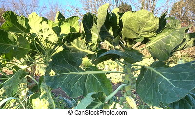 Organic Brussels sprouts ready for harvest - Brussels...