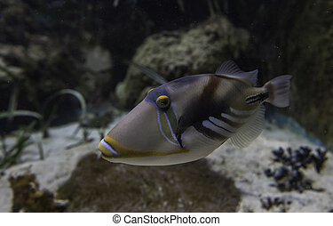 Picasso Trigger fish swimming