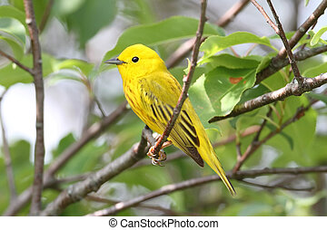 Yellow Warbler (Dendroica petechia) on a branch in early...