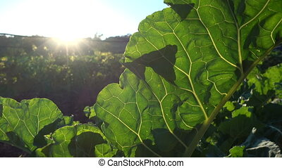 Big leaf of collard plant growing on a field at the sunset -...