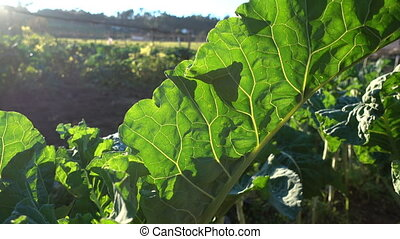 Big leaf of collard plant growing on a field in an organic...