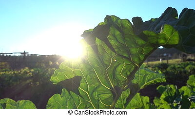 Sun shines through big leaf of collard plant growing on a...