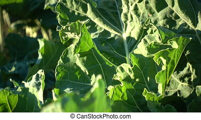 Collard plants growing on a field in an organic farm. This...