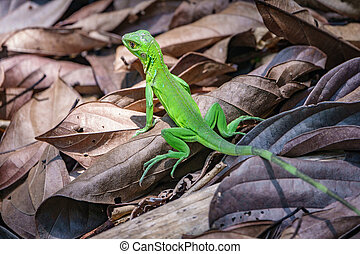 Green lizard in Corcovado, Costa Rica - Close up of green...