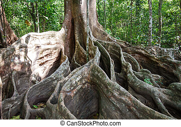 A giant tree with buttress roots in the forest, Costa Rica -...