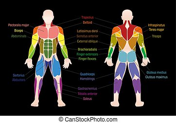 Muscle Chart Male Body Colored Muscles - Muscle chart with...