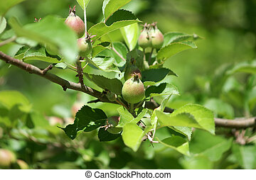 Wild apple tree with small apples