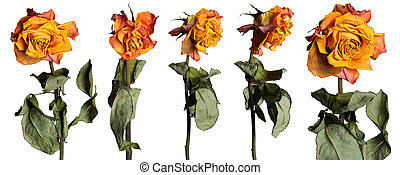 Faded roses set - Dried rose flowers with leafs isolated...