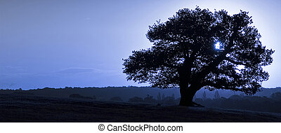 Ancient English Oak silhouette at sunrise with blue tone for...
