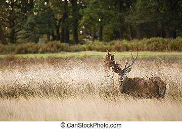 Majestic red deer during rut season October Autumn Fall