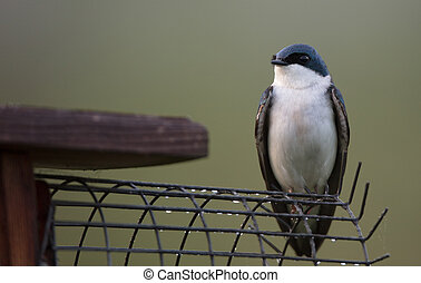 Tree Swallow with Nest Box - Tree Swallow (Tachycineta...