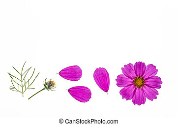 pink cosmos flowerhead with petals isolated on white...
