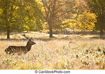 Majestic red deer during rut season October Autumn Fall -...
