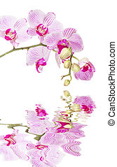 White and pink orchid on a white background reflected in a water