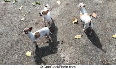 Chihuahua dogs - Group of chihuahua dogs