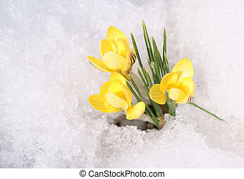 Yellow crocuses on snow - Bouquet of yellow crocuses on snow...