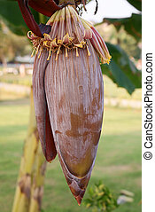 Banana flower - One red banana flower with outdoor...