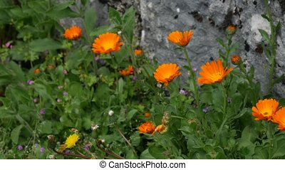 Flowers Calendula officinalis on the flowerbed near the house.