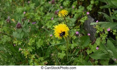 Yellow dandelions in grass, spring in Montenegro - Yellow...