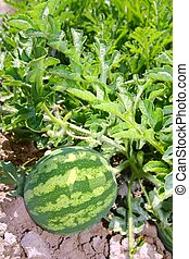 agriculture watermelon field big fruit water melon