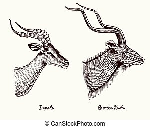 antelopes impala and greater kudu vector hand drawn...