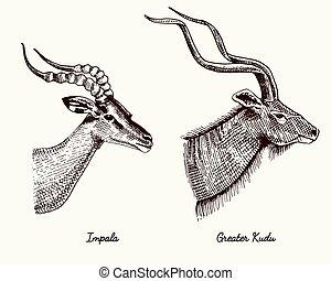 antelopes impala and greater kudu vector hand drawn...