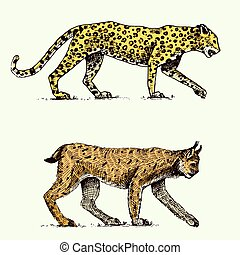 Wild cats set, leopard and Lynx engraved hand drawn in old sketch style, vintage animals