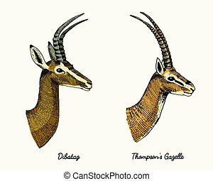 antelopes dibatag and thompsons gazelle vector hand drawn illustration, engraved wild animals with antlers or horns vintage looking heads side view
