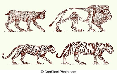 Wild cats set, Lynx lion leopard and tiger engraved hand drawn in old sketch style, vintage animals