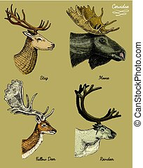 reindeer, moose, eurasian elk, doe roe deer and stag vector hand drawn illustration, engraved wild animals with antlers or horns vintage looking heads side view