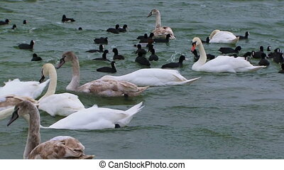 Diverse flock - A large flock of birds consisting of swans...