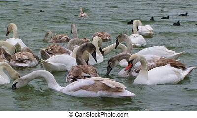 Swimming birds - A flock of beautiful swans get their food.