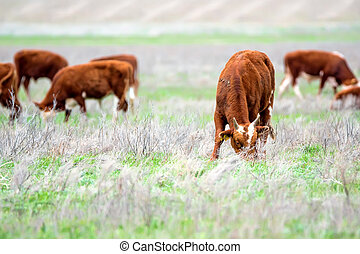 Young cattle on green meadow