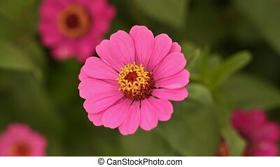 Gently pink zinnia flower close-up.