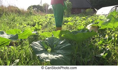 zucchini and pumpkin vegetables spraying in farm. closeup....