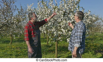 Agronomist and farmer in cherry orchard - Agronomist and...