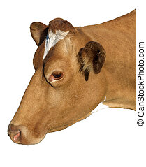 A Jersy Cow - Jersey cow's head - isolated on white