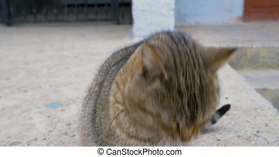 The tabby domestic cat meow and looking very hungry and...