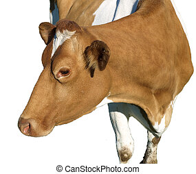 A Jersey Cow - Jersey cow - isolated on white