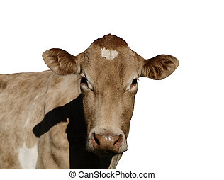 A Jersey Cow - A Jersey cow looking - isolated on white