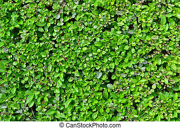 buxus fence texture - buxus plant green fence texture nature...