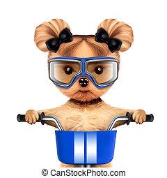 面白い, 概念, 犬, 自転車, レーサー, スポーツ