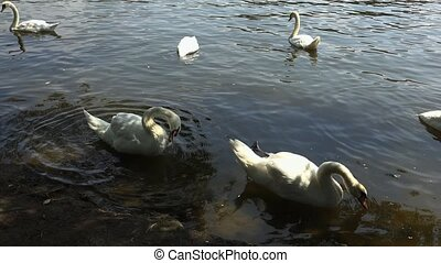 White swans are swimming in the water.