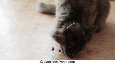 Gray pussycat eat dry pet treat on a floor.