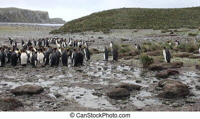 Emperor Penguins on the Falkland Islands. Incredibly...