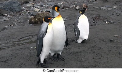 Three Imperial Penguins on the Falkland Islands in...