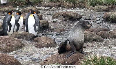 Cute seal on background of an emperor penguin on Falkland...