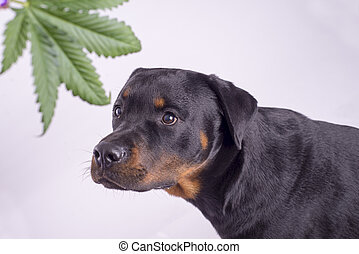 Detail of cannabis leaf and rottweiler dog isolated over...