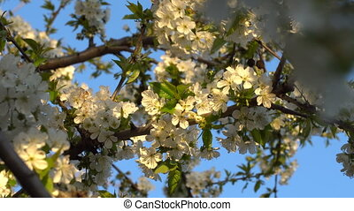 Cherry flowers at sunset - Cherry blossoms in the spring at...