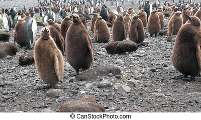 Many king penguins on ocean coast on Falkland Islands in...